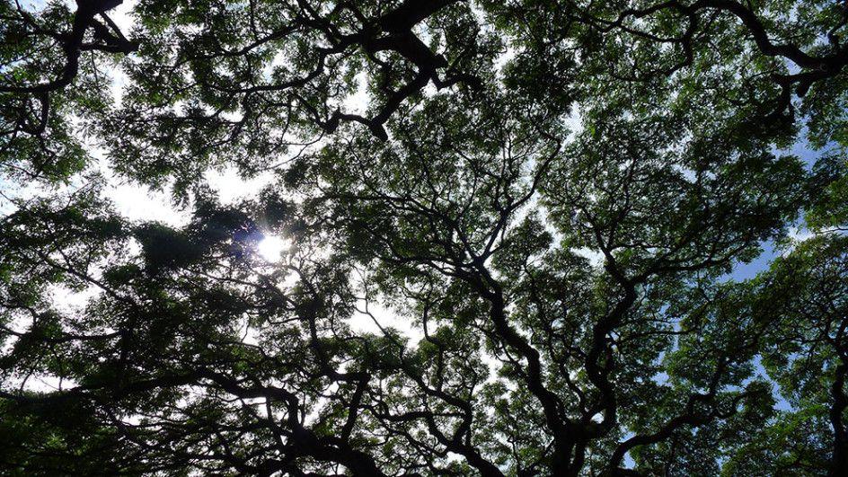 Trees, Oahu
