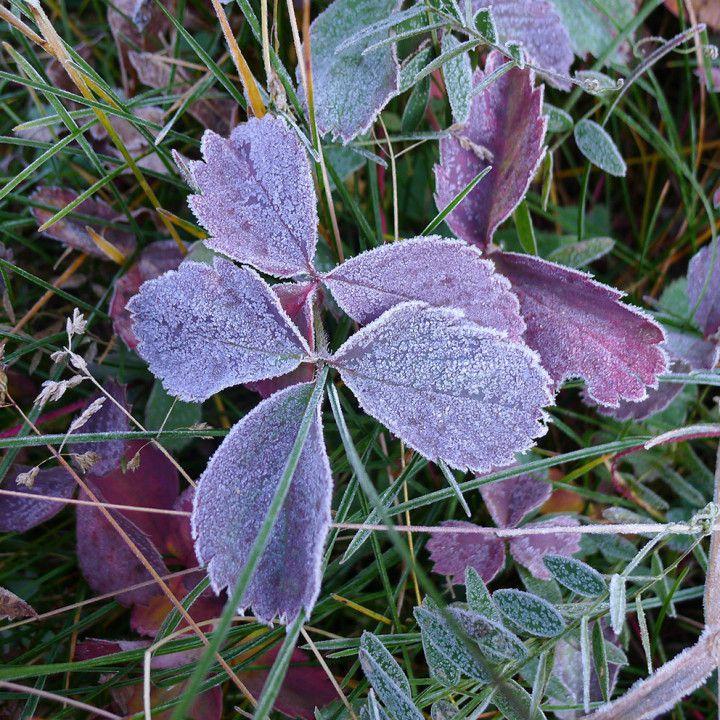 Early Fall Frost, Aspen