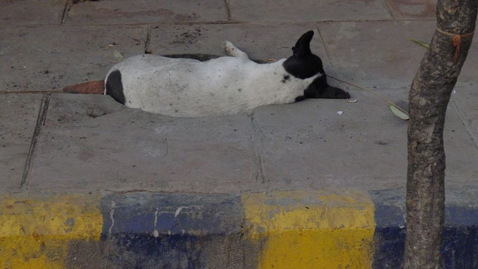Dog In Sidewalk Crevice, India